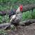 fehér · kakas · piros · címer · étel · madár - stock fotó © volina