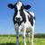 mucca · ritratto · verde · estate · farm · animale - foto d'archivio © vwalakte