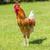 beautiful cock on green grass stock photo © vwalakte