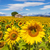 beautiful landscape with sunflower field stock photo © vwalakte