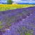 zonnebloem · Frankrijk · bloemen · natuur · Blauw · planten - stockfoto © vwalakte