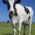 tehén · feketefehér · mező · arc · kék · farm - stock fotó © vwalakte