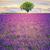 campo · de · lavanda · verão · pôr · do · sol · paisagem · árvore · natureza - foto stock © vwalakte
