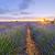 lavendel · vers · paars · aromatisch · plant - stockfoto © vwalakte