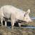 büyük · domuz · çiftlik · büyük · burun - stok fotoğraf © vwalakte