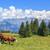panoramic view of brown cows stock photo © vwalakte