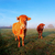 cow in morning sunlight stock photo © vwalakte