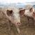 çiftlik · domuzlar · ışık · grup · bacaklar · et - stok fotoğraf © vwalakte
