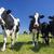 özenli · inekler · siyah · beyaz · alan · bahar · yüz - stok fotoğraf © vwalakte