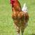 kakas · fehér · tojás · toll · hús - stock fotó © vwalakte