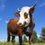 ritratto · rosolare · mucca · normandia · Francia · erba - foto d'archivio © vwalakte