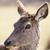 portrait of wild doe stock photo © vwalakte