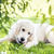 Golden Retriever in garden stock photo © w20er