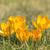 crocus flowers stock photo © w20er