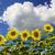 amarelo · campo · girassóis · brilhante · blue · sky · nuvens - foto stock © w20er