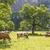 inekler · alpine · yeşil · İtalyan · alpler - stok fotoğraf © w20er