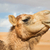 camel in wahiba oman stock photo © w20er