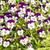 Pansy flowers in garden stock photo © w20er