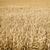 麦畑 · クローズアップ · ショット · 小麦 · 耳 · 夏 - ストックフォト © w20er