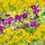 purple pansy flowers stock photo © w20er