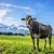 tehén · Alpok · kép · zöld · legelő · égbolt - stock fotó © w20er