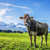 vache · alpes · image · vert · prairie · ciel - photo stock © w20er