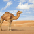 camel in wahiba oman stock photo © w20er