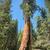 lang · boom · sequoila · panorama · hout · bos - stockfoto © weltreisendertj