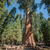secoya · parque · textura · madera · forestales · árboles - foto stock © weltreisendertj