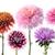 set of dahlia flowers stock photo © wikki