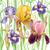 Iris · fiore · viola · bianco · giardino · verde - foto d'archivio © wikki