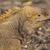 grond · leguaan · eiland · dier · biologie - stockfoto © wildnerdpix