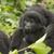 goril · bulut · orman · dağ · Uganda · Afrika - stok fotoğraf © wildnerdpix