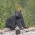 black bear on a log pile in alaska stock photo © wildnerdpix