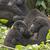 bebek · goril · kadın · oturma · beton · hayvan - stok fotoğraf © wildnerdpix