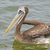 peruvian pelican in ocean waters stock photo © wildnerdpix