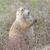 préri · kutya · eszik · természetes · élőhely - stock fotó © wildnerdpix
