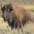 bisão · verão · árvore · grama · campo · EUA - foto stock © wildnerdpix