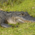 American Alligator in the Wetland stock photo © wildnerdpix