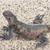 marinha · iguana - foto stock © wildnerdpix