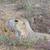 préri · kutya · természetes · élőhely · gyűlés · állat - stock fotó © wildnerdpix