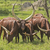 ankole watusi cattle in the plains stock photo © wildnerdpix