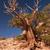 Верблюды · дерево · парка · пустыне - Сток-фото © wildnerdpix