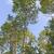 white birch trees against the sky stock photo © wildnerdpix