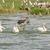 marabou stork chasing three great white pelicans stock photo © wildnerdpix