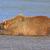 bear sleeping on a sand bar after a good meal stock photo © wildnerdpix