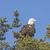 bald eagle watching the landscape stock photo © wildnerdpix