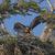 fledgling eagle testing its wings stock photo © wildnerdpix