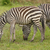 young zebra with adult in the forest stock photo © wildnerdpix