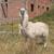 llama · funny · primer · plano · retrato · zoológico · naturaleza - foto stock © wildnerdpix